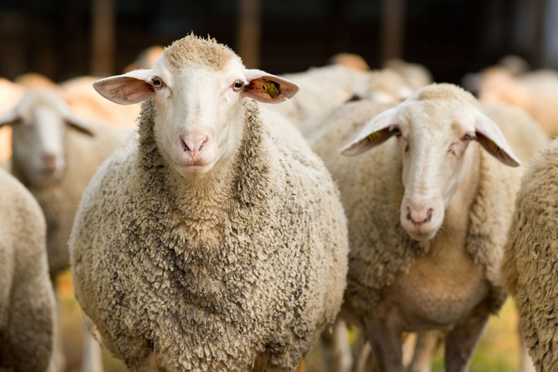 8.-NZ-wool-exports-jump-to-decade-high-BS
